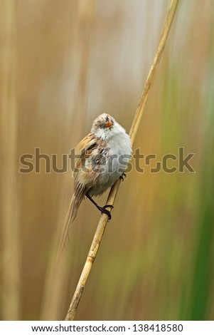 Bearded reedling on a reed - stock photo