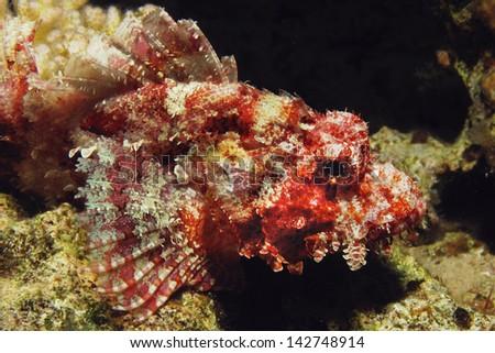 Bearded scorpionfish (scorpaenopsis barbatus) - stock photo