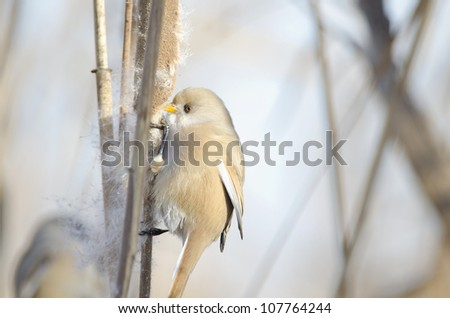 Bearded Tit - stock photo