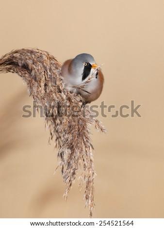 Bearded Tit - stock photo