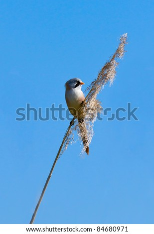 Bearded tit on the reed, male - reedling (Panurus biarmicus) - stock photo