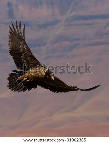 bearded vulture and mountain background - stock photo