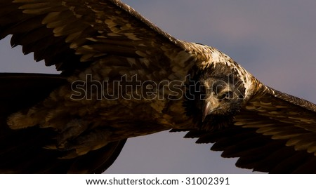 bearded vulture closeup - stock photo