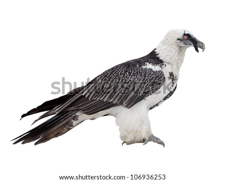 Bearded vulture (Gypaetus barbatus).  Isolated over white background