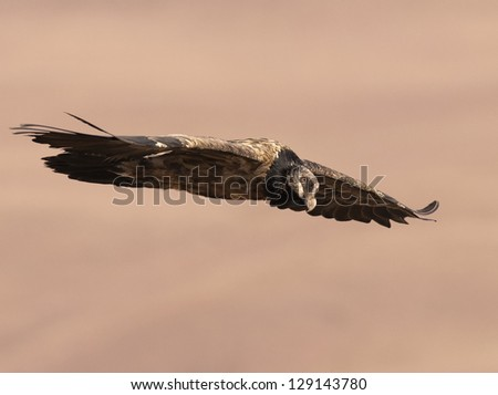 Bearded Vulture with wings outstretched - stock photo