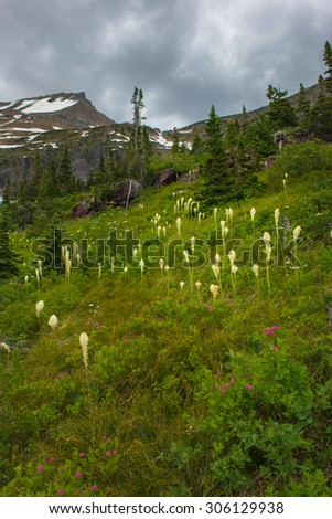 Beargrass, wild flower in Glacier National Park - stock photo