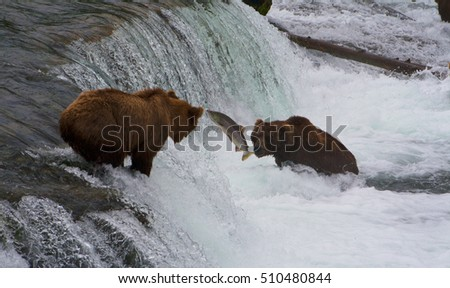 Bears Salmon Fishing