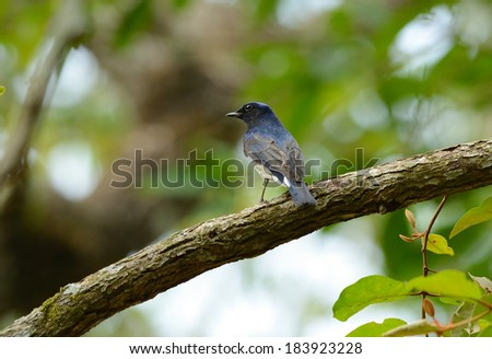 beatiful Blue-and-white Flycatcher (Cyanoptila cyanomelana) possing on the branch