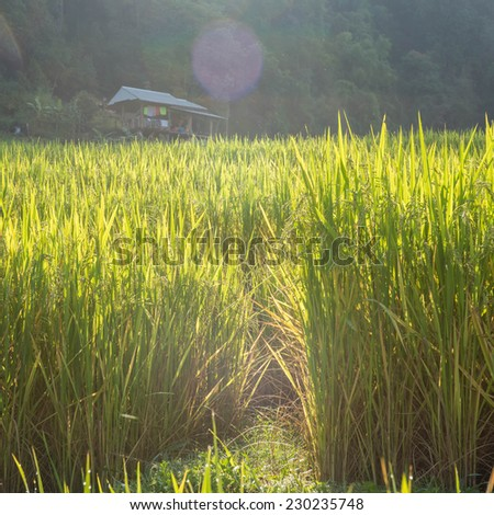 beatiful rice field in the rural valley - stock photo