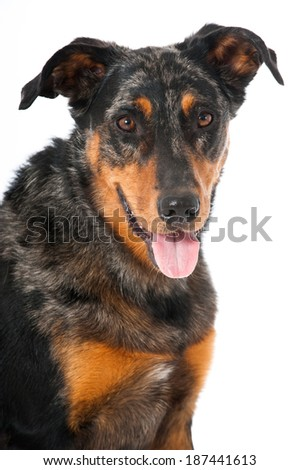 Beauceron dog isolated on white