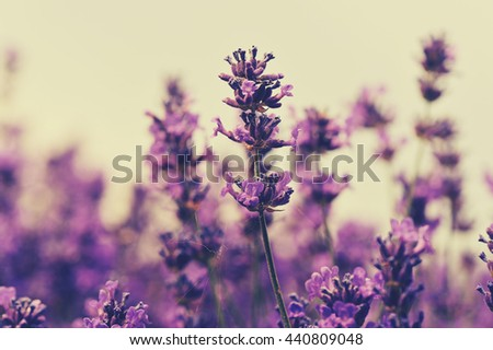 beautful scented lavender flowers field - stock photo