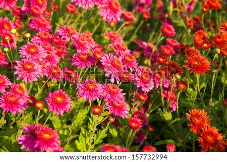 beautifu red chrysanthemum flowers background - stock photo