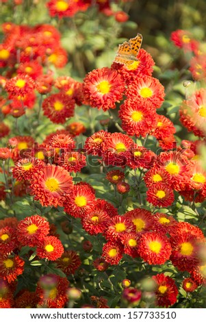 beautifu red chrysanthemum flowers background with orange butterfly - stock photo