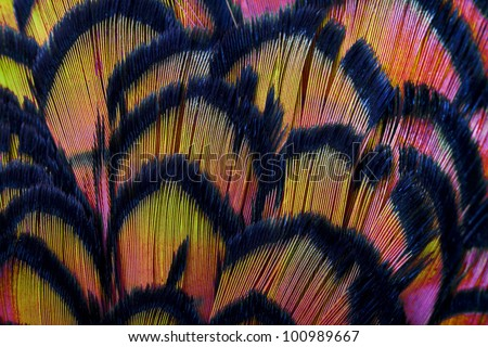 Beautiful abstract background consisting of pink and yellow dyed lady amherst pheasant feathers