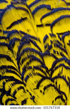 Beautiful abstract background consisting of yellow dyed lady amherst pheasant feathers