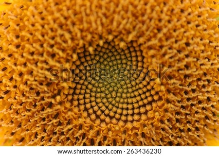 beautiful abstract background of yellow sunflower seeds texture Nature backdrop  - stock photo