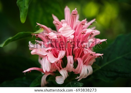 Beautiful acanthaceae flowers cultivated botanical garden exotic beautiful acanthaceae flowers cultivated in botanical gardenexotic plants grow in greenhouserare pink mightylinksfo