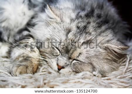 beautiful adorable lazy white cat sleeping - stock photo