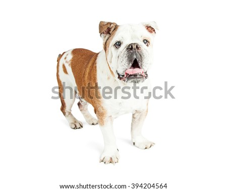 Beautiful adult Bulldog breed dog standing with open mouth and happy expression - stock photo