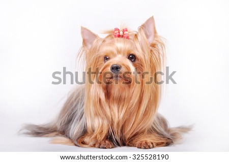 Beautiful adult female Yorkshire terrier with a bow on her head on a white background - stock photo