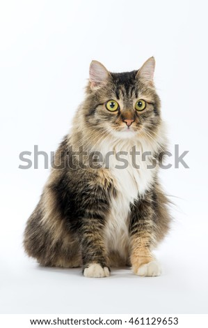 Beautiful adult fluffy cat sits