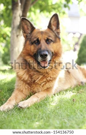 Beautiful adult German shepherd lying on the grass in the garden - stock photo