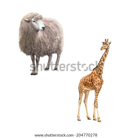 Beautiful adult Giraffe looking at us, illustration isolated on white - stock photo