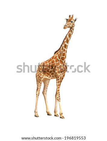 Beautiful adult Giraffe looking at us, illustration isolated on white background