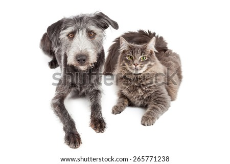Beautiful adult gray color domestic medium hair cat laying down next to a cute mixed terrier breed dog. - stock photo