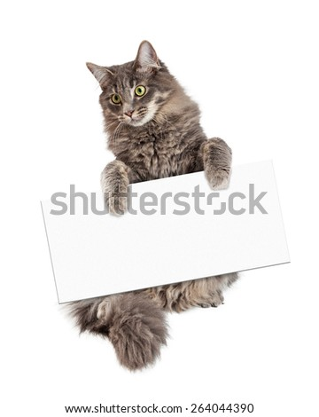 Beautiful adult gray color domestic medium hair cat sitting up and holding a blank sign to enter your message onto - stock photo