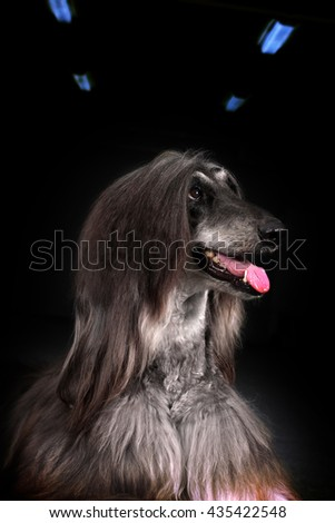 Beautiful Afghan dog on dark background, closeup portrait