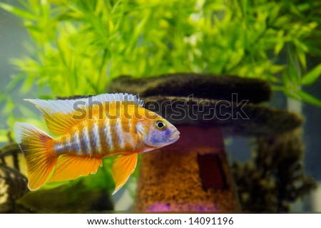 Beautiful African Cichlid (Red Peacock) swimming in the aquarium. Lots of bright orange. - stock photo