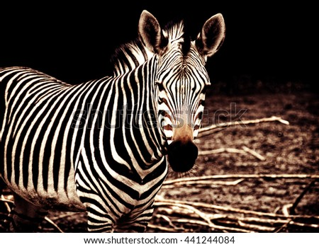 Beautiful african zebra. Creative artwork. South African wildlife. Exotic image of african safari & wild animals during travel to Africa. Amazing unique photo of plains zebra. Stylish design. Vintage