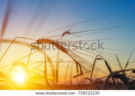 Beautiful agriculture sunset landscape. Ears of golden wheat close up. Rural scene under sunlight. Summer background of ripening ears of landscape. Growth nature harvest. Wheat field natural product