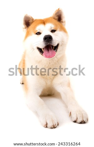 Beautiful Akita Inu dog posing in studio - stock photo