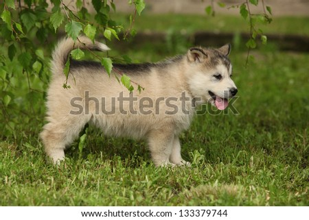 Beautiful Alaskan Malamute puppy under the twigs of birch