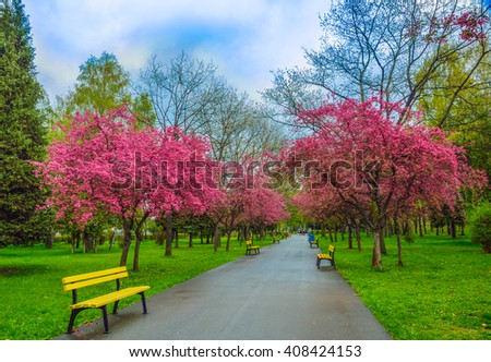 Beautiful alley in a park with cherry blossoms tree, in spring season