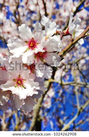 beautiful almond flowers on branch