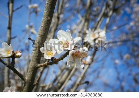 beautiful almond tree blossomed in spring - stock photo