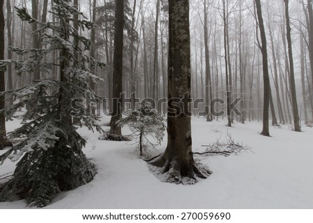 Beautiful alpine forest with fir trees and fresh powder snow - stock photo
