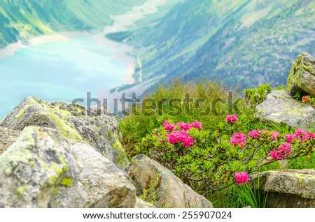Beautiful alpine landscape with flowers and azure mountain lake in the background, Zillertal Alps, Austria - stock photo