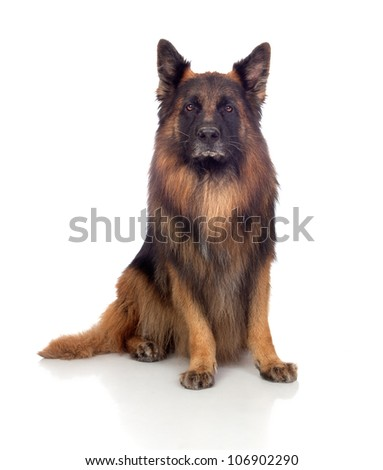 Beautiful alsatian isolated on white background - stock photo