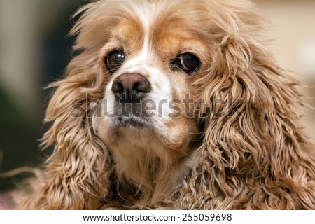 beautiful American Cocker Spaniel, close-up