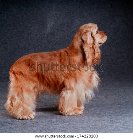 Beautiful american cocker spaniel of gray background