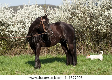 Beautiful American Quarter horse stallion posing with Jack Russe