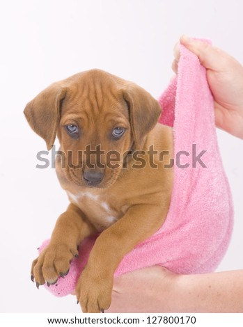 beautiful and adorable little puppy dog hanging in  a pink sock - stock photo