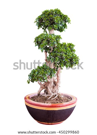 Beautiful and artistic dwarf tree or a miniature bonsai tree in a ceramic pot isolated on white background.with clipping path. - stock photo