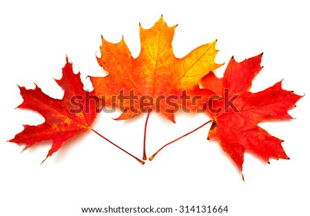 Beautiful and colorful autumn maple leaves isolated on white background - stock photo