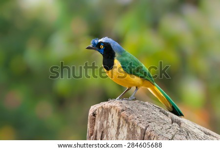 Beautiful and colorful Green jay on a log, in Venezuela - stock photo