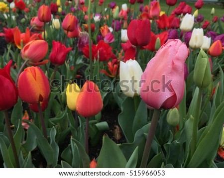 Beautiful and colorful tulip